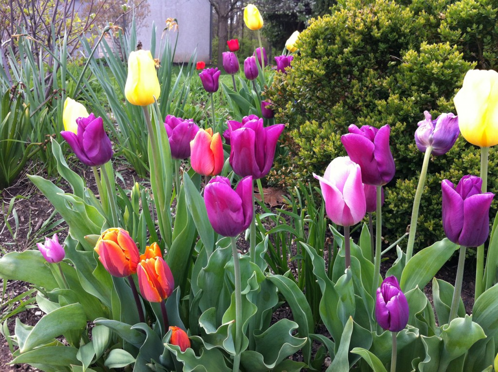 Tulips - well worth the time, money and patience!
